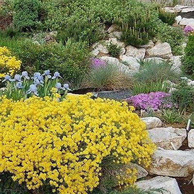 Vrtnarstvo Breskvar - Alyssum montanum Mountain Gold
