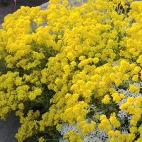 Vrtnarstvo Breskvar - Alyssum saxatile Compactum