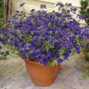 Vrtnarstvo Breskvar - Anagallis monelli Skylover