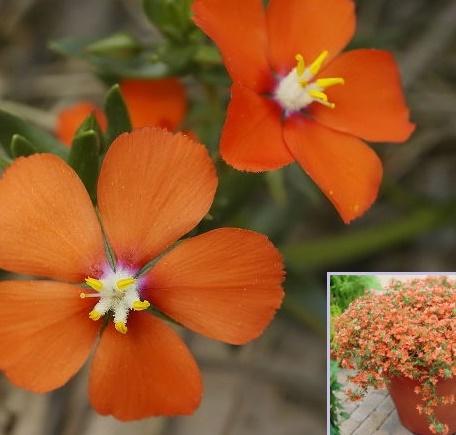 Vrtnarstvo Breskvar - Anagallis monelli Sunrise