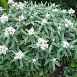 Vrtnarstvo Breskvar - Anaphalis triplinervis Sommerschnee