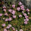 Vrtnarstvo Breskvar - Androsace Sempervivodes