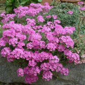 Vrtnarstvo Breskvar - Androsace sarmentosa