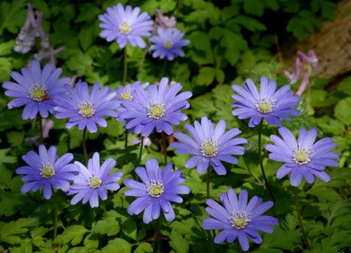 Vrtnarstvo Breskvar - Anemone apennina