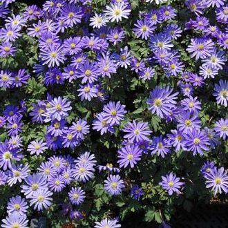 Vrtnarstvo Breskvar - Anemone blanda Blue Shades