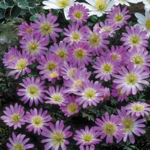Vrtnarstvo Breskvar - Anemone blanda Charmer