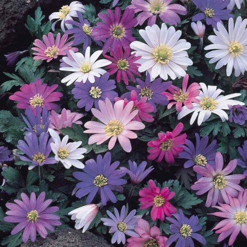 Vrtnarstvo Breskvar - Anemone blanda