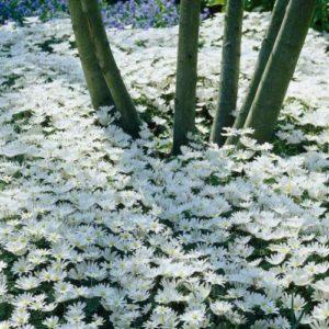 Vrtnarstvo Breskvar - Anemone blanda White Splendour