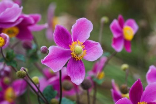 Vrtnarstvo Breskvar - Anemone hupehensis Splendens