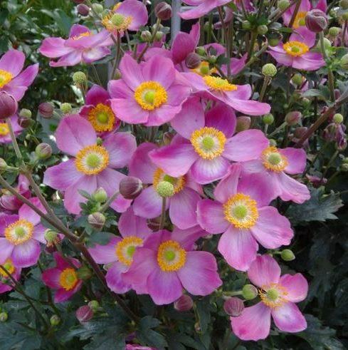 Vrtnarstvo Breskvar - Anemone hybrida Fantasy Cinderella