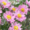 Vrtnarstvo Breskvar - Anemone hybrida Fantasy Pocahontas