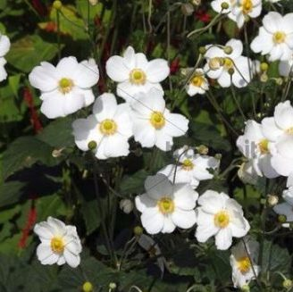 Vrtnarstvo Breskvar - Anemone japonica Honorine Jobert