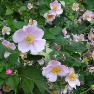 Vrtnarstvo Breskvar - Anemone japonica Konigin Charlotte