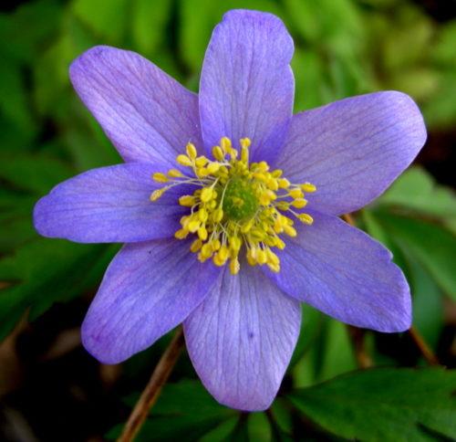 Vrtnarstvo Breskvar - Anemone nemorosa Robinsoniana