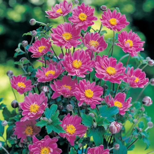Vrtnarstvo Breskvar - Anemone tomentosa Serenade
