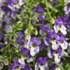 Vrtnarstvo Breskvar - Angelonia angustifolia Angelface Wedgewood Blue