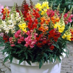 Vrtnarstvo Breskvar - Antirrhinum majus