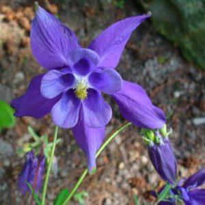 Vrtnarstvo Breskvar - Aquilegia alpina