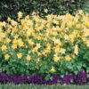 Vrtnarstvo Breskvar - Aquilegia caerulea Spring Magic Yellow