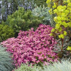 Vrtnarstvo Breskvar - Arabis arendsii Compinkie