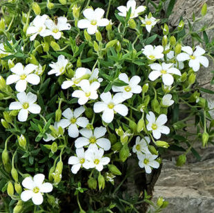 Vrtnarstvo Breskvar - Arenaria montana