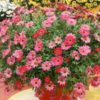 Vrtnarstvo Breskvar - Argyranthemum frutescens