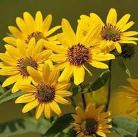 Vrtnarstvo Breskvar - Arnica montana