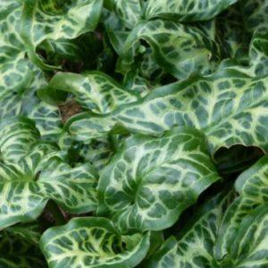 Vrtnarstvo Breskvar - Arum italicum Pictum