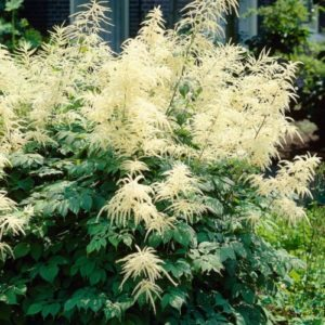Vrtnarstvo Breskvar - Aruncus dioicus