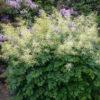 Vrtnarstvo Breskvar - Aruncus dioicus Kneiffii