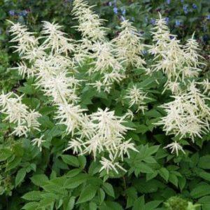 Vrtnarstvo Breskvar - Aruncus sinensis Zweiweltenkind