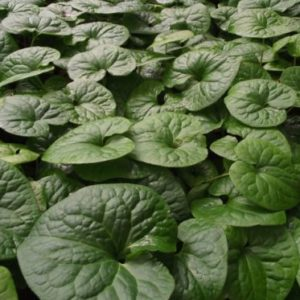 Vrtnarstvo Breskvar - Asarum caudatum