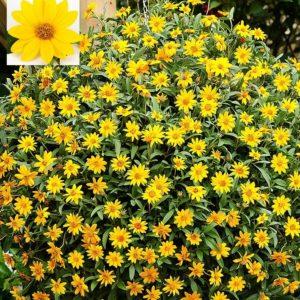 Vrtnarstvo Breskvar - Aspilia Brasilia Gold