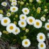 Vrtnarstvo Breskvar - Aster alpinus Albus