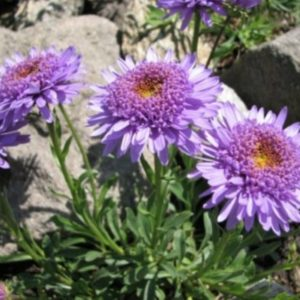Vrtnarstvo Breskvar - Aster alpinus Sabine