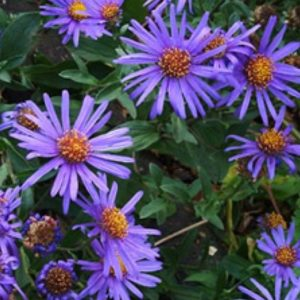 Vrtnarstvo Breskvar - Aster amellus Blue King