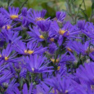 Vrtnarstvo Breskvar - Aster amellus Breslau