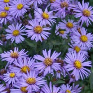 Vrtnarstvo Breskvar - Aster amellus Mira