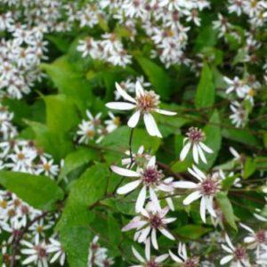 Vrtnarstvo Breskvar - Aster divaricatus