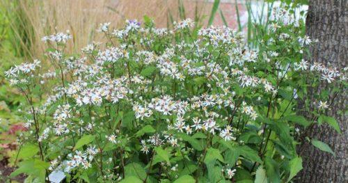 Vrtnarstvo Breskvar - Aster divaricatus Tradescant