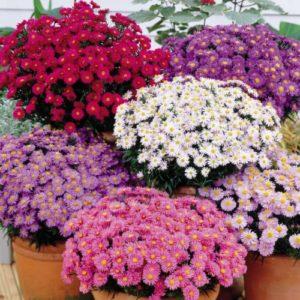 Vrtnarstvo Breskvar - Aster dumosus