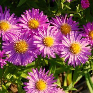 Vrtnarstvo Breskvar - Aster dumosus Heinz Richard