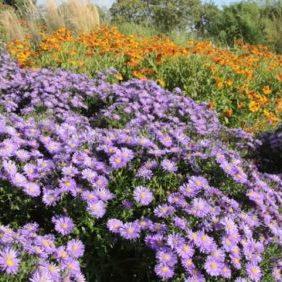 Vrtnarstvo Breskvar - Aster dumosus Blaue Lagune