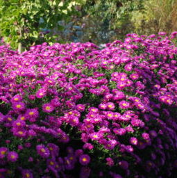 Vrtnarstvo Breskvar - Aster dumosus Kassel