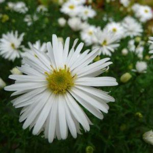 Vrtnarstvo Breskvar - Aster dumosus Kristina