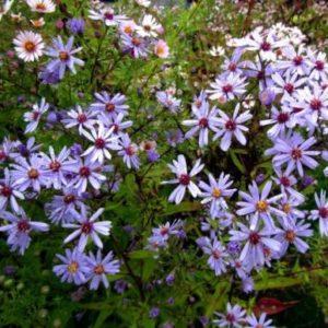 Vrtnarstvo Breskvar - Aster ericoides Blue Star