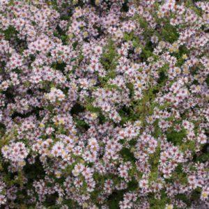 Vrtnarstvo Breskvar - Aster Vimineus Lovely