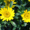 Vrtnarstvo Breskvar - Astericus maritimus