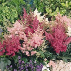 Vrtnarstvo Breskvar - Astilbe arendsii