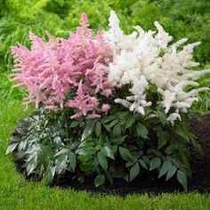 Vrtnarstvo Breskvar - Astilbe simplicifolia Aphrodite